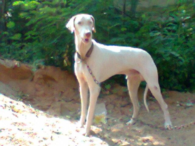 Combai Puppies: Combai Jeikumar Rajapalayam Breed