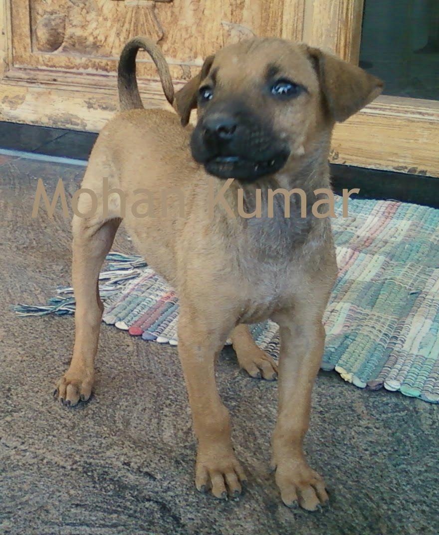 Combai Dog: Combai Kombai Dogs Breed