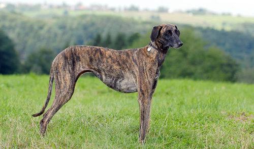 Combai Dog: Combai List Of Dog Breeds