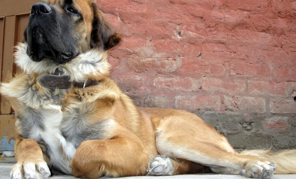 Combai Dog: Combai My Gsd Himlayan Mastiff Breed