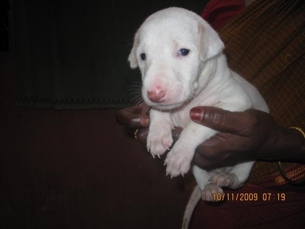 Combai Puppies: Combai Rajapalayam Puppies Breed