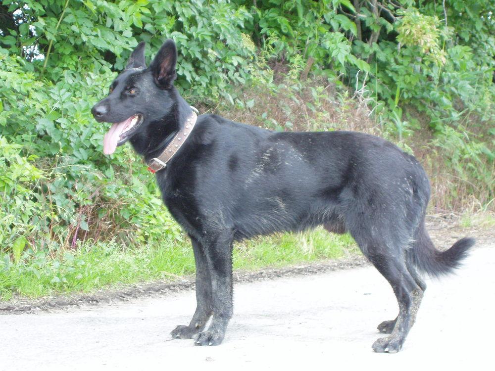 Combai Dog: Combai World Of Dog Breeds