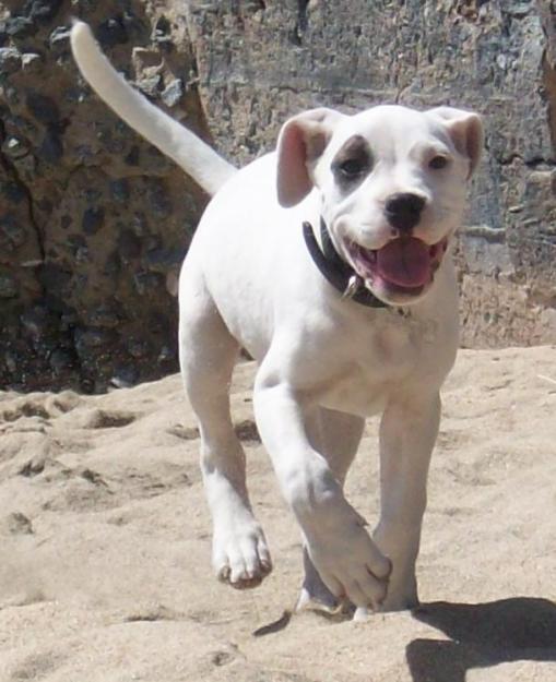 Cordoba Fighting Dog: Cordoba Happy Cordoba Fighting Dog Breed