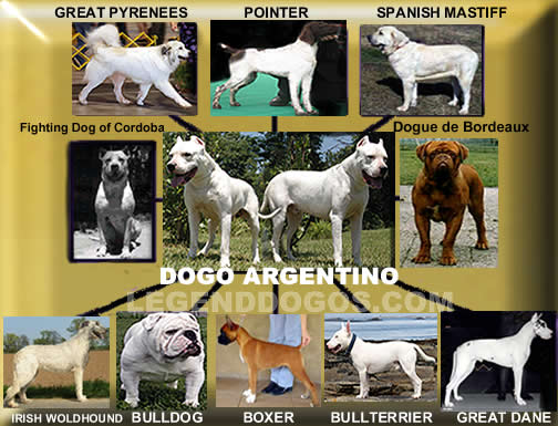 Cordoba Fighting Puppies: Cordoba History Breed