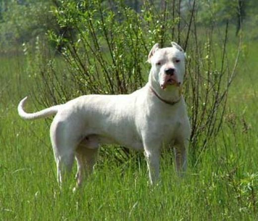 Cordoba Fighting Dog: Cordoba Walking Cordoba Fighting Dog Breed