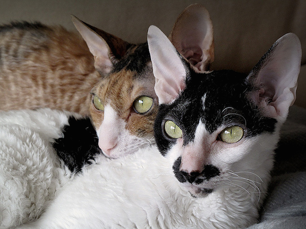 Cornish Rex Cat: Cornish Cornish Rex Cat Breed Profile