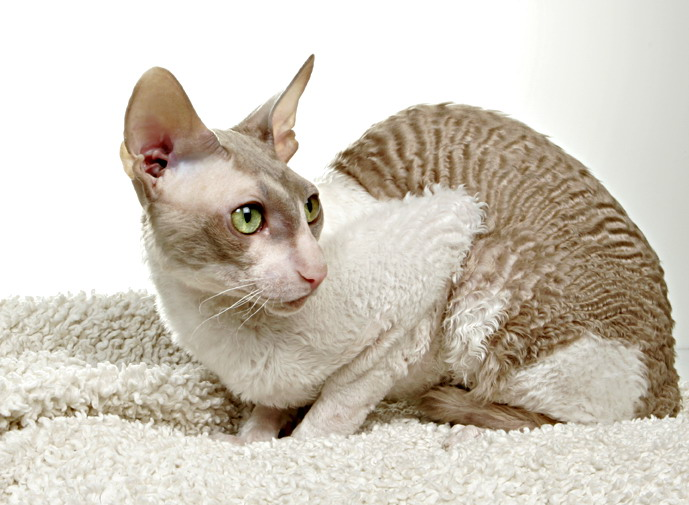 Cornish Rex Cat: Cornish Cornish Rex Cat Pictures Breed