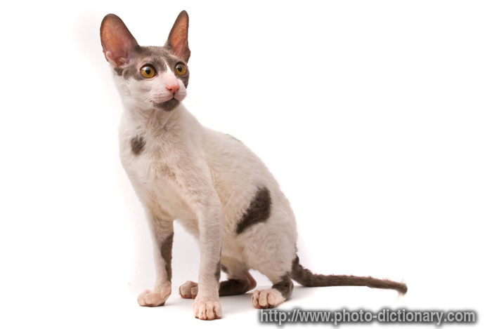 Cornish Rex Cat: Cornish Cornish Rex Kittens Mn Breed