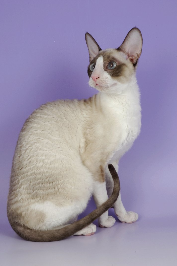 Cornish Rex Cat: Cornish Cornish Rex Pictures Information Breed