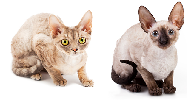 Cornish Rex Cat: Cornish Devon Rex And Cornish Rex Cats Breed