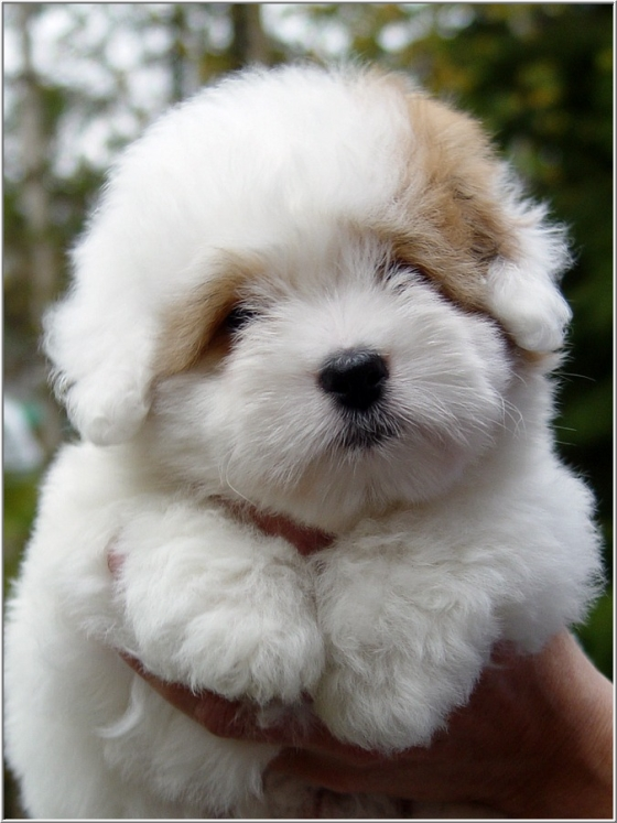 Coton de Tulear Puppies: Coton Archive Breed