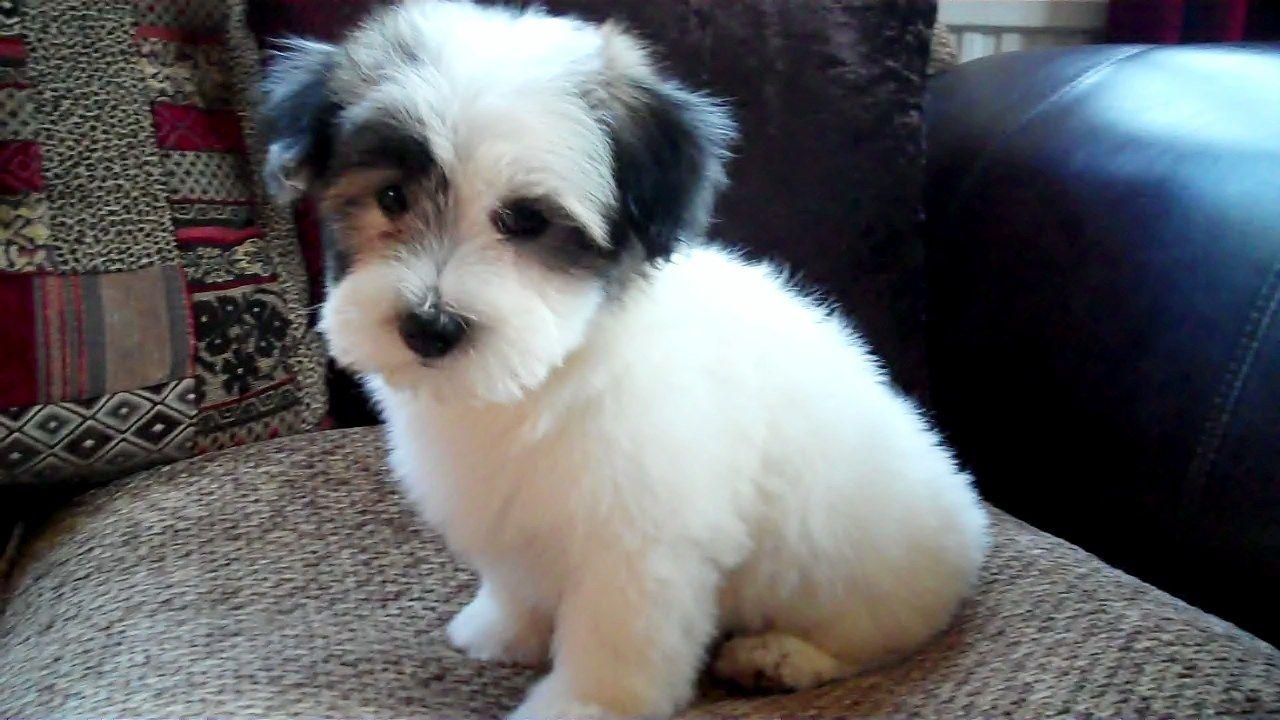 Coton de Tulear Puppies: Coton Beautiful Coton De Tulear Puppies Sleaford Breed