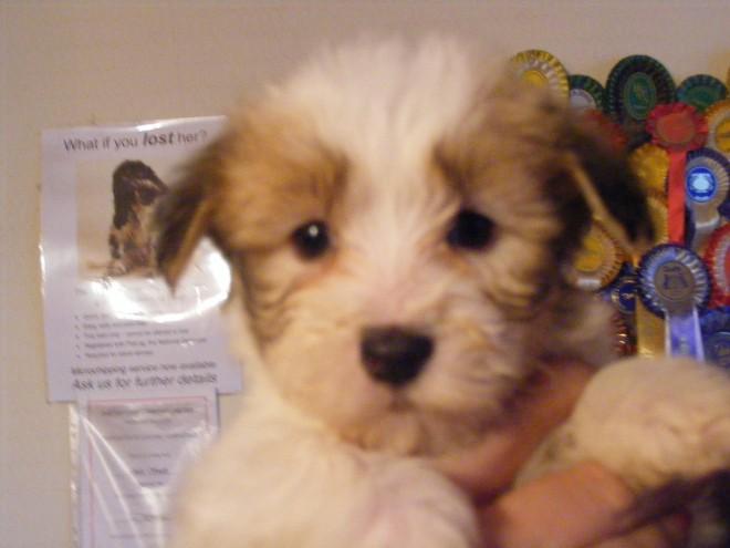 Coton de Tulear Puppies: Coton Coton De Tulear Coloured Puppies Boy Girls Doncaster Breed