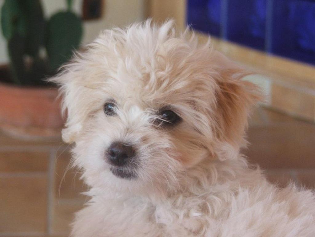 Coton de Tulear Dog: Coton Coton De Tulear Dog Picture Breed