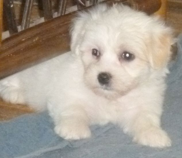Coton de Tulear Puppies: Coton Coton De Tulear Kennel Club Registered Puppies Longhope Breed