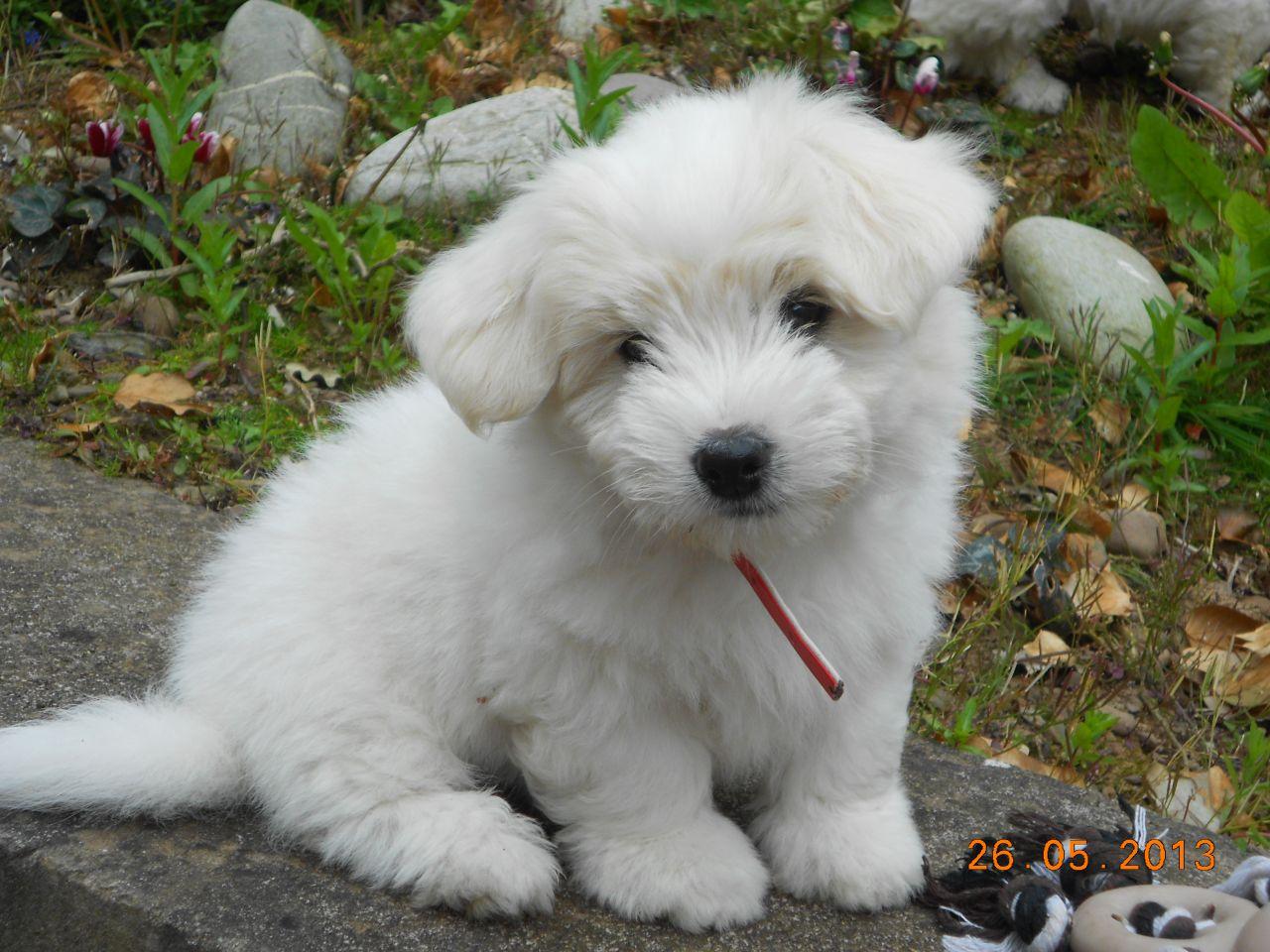 Coton de Tulear Puppies: Coton Coton De Tulear Puppies For Sale Swansea Breed