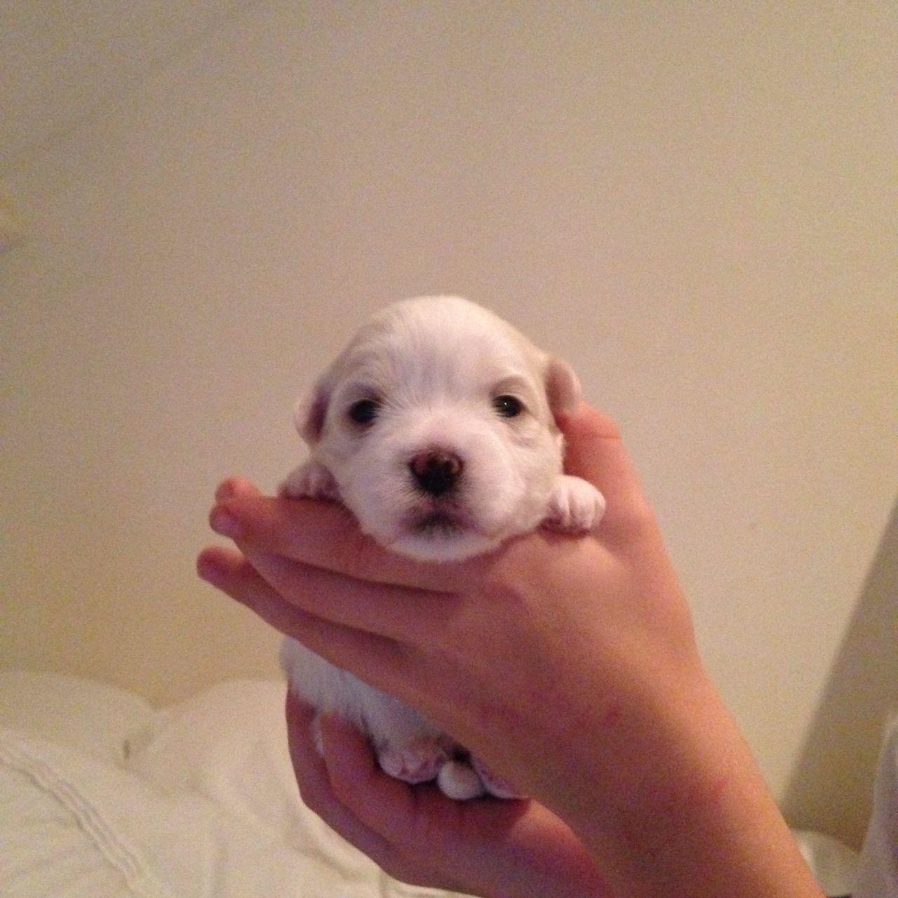 Coton de Tulear Puppies: Coton Coton De Tulear Puppies North Walsham Breed