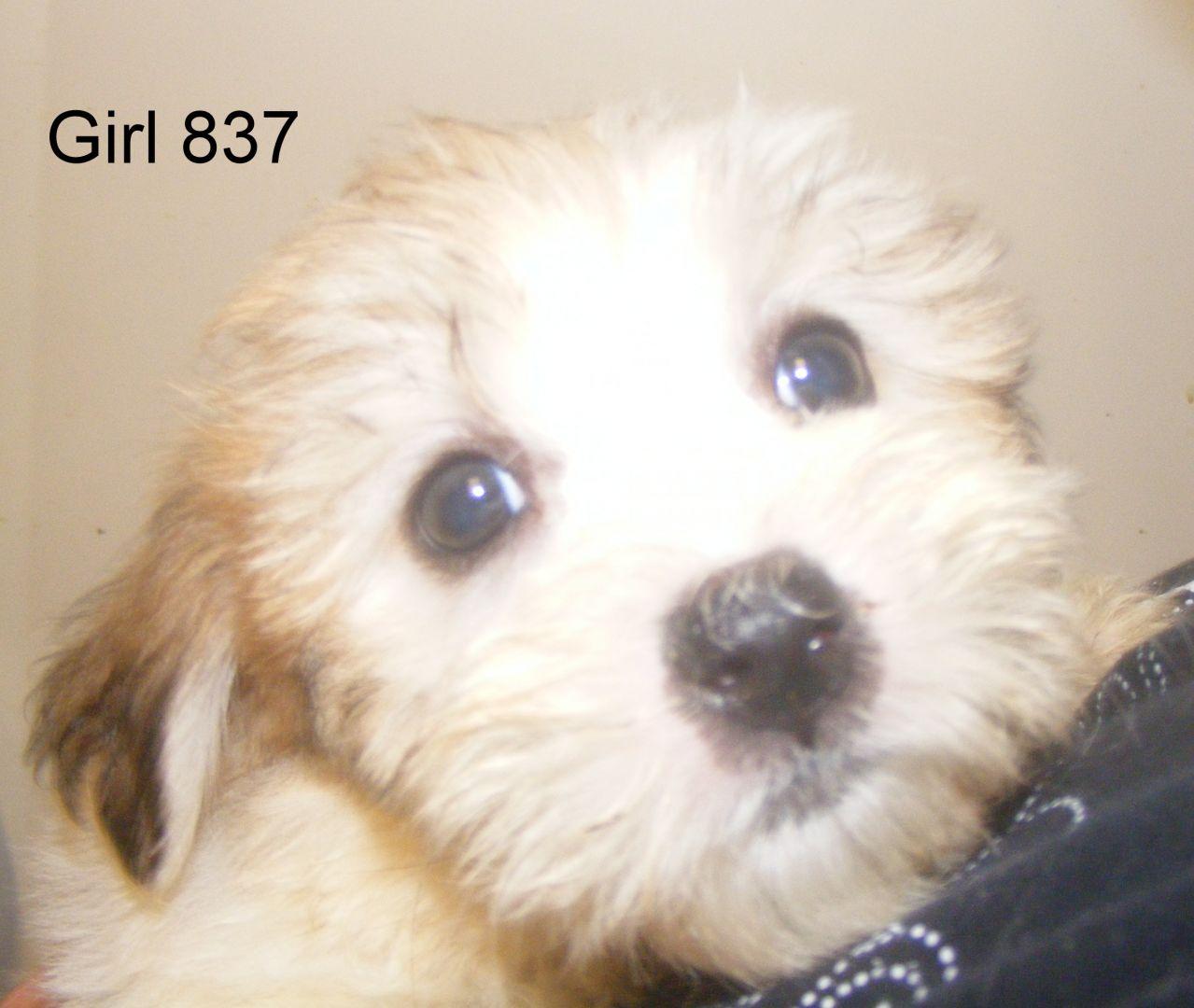 Coton de Tulear Puppies: Coton Cotontastick Coton De Tulear Puppies Doncaster Breed