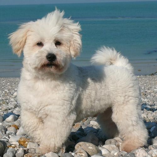 Coton de Tulear Dog: Coton Dogs Coton De Tulear Breed