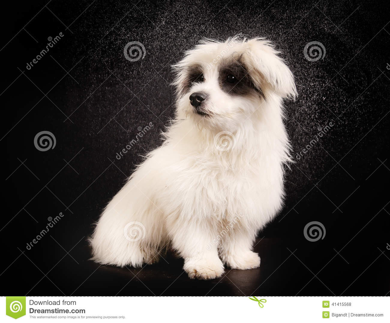 Coton de Tulear Dog: Coton Stock Coton De Tulear Dog Studio Breed