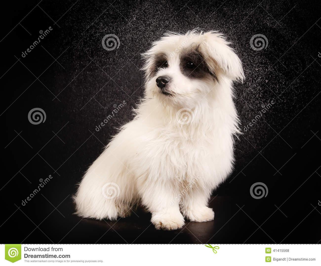 Coton de Tulear Dog: Coton Stock Coton De Tulear Dog Studio Breed