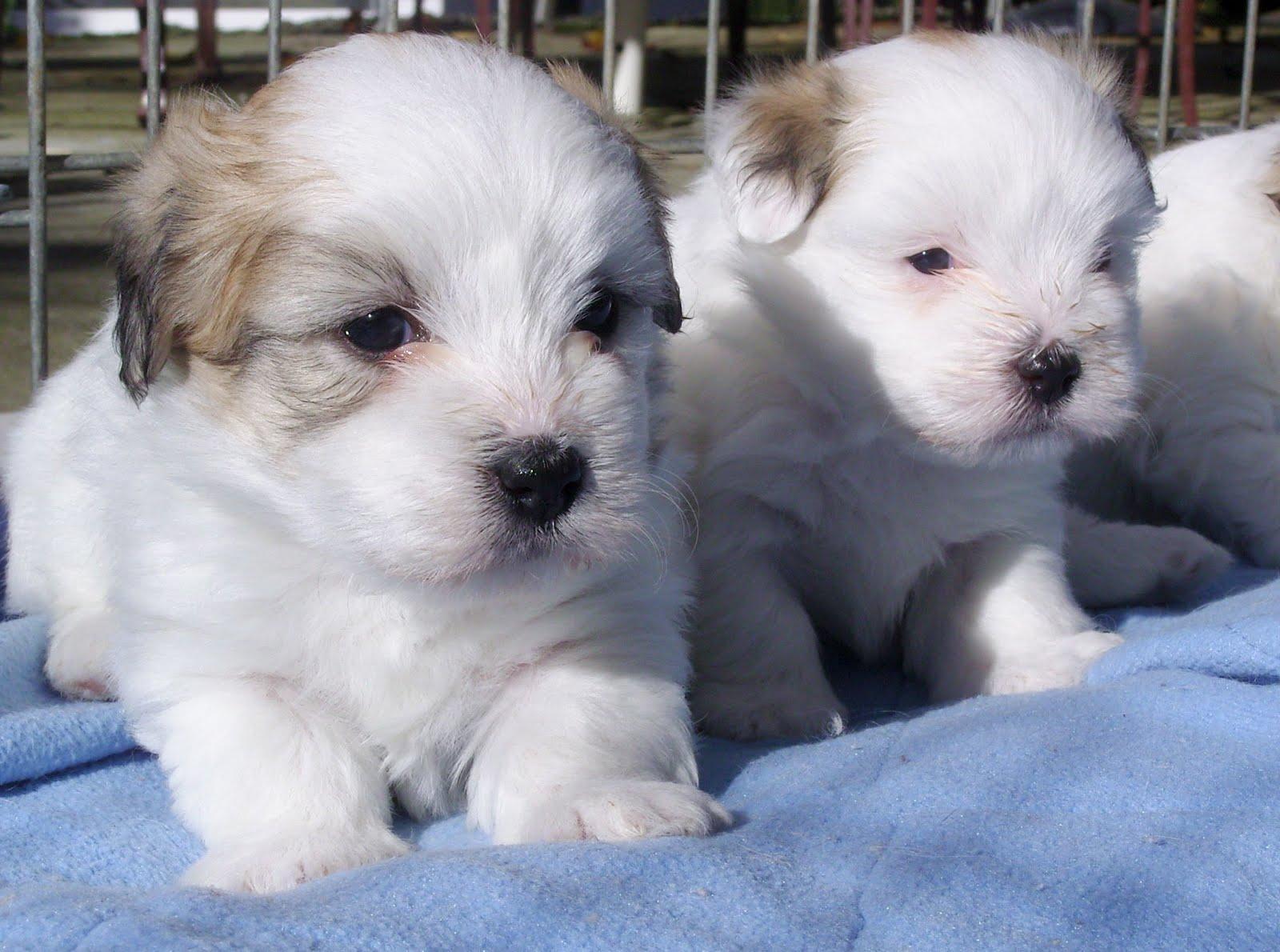 Coton de Tulear Puppies: Coton Two Lovely Coton De Tulear Puppies Breed