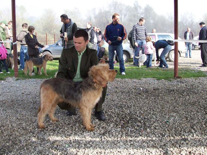 Cretan Hound Puppies: Cretan Adopt Vizsla Texas Breed