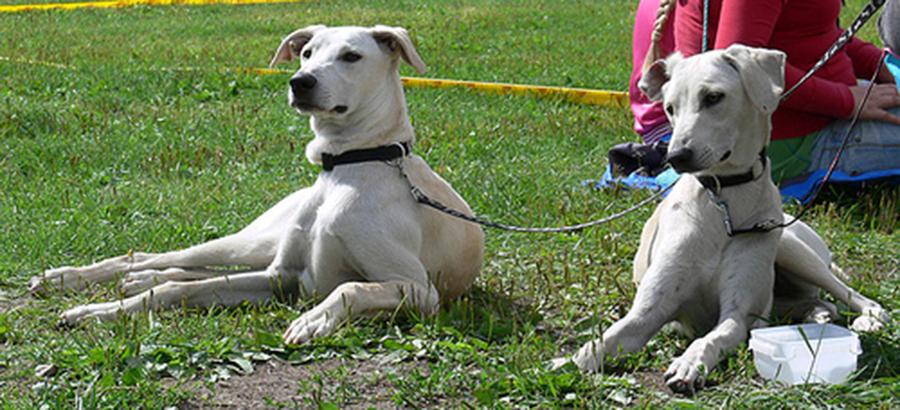 Cretan Hound Dog: Cretan Cretan Hound Breed