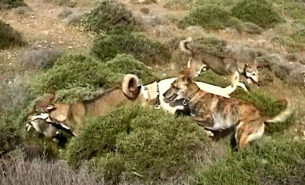 Cretan Hound Puppies: Cretan Girittazisi Breed