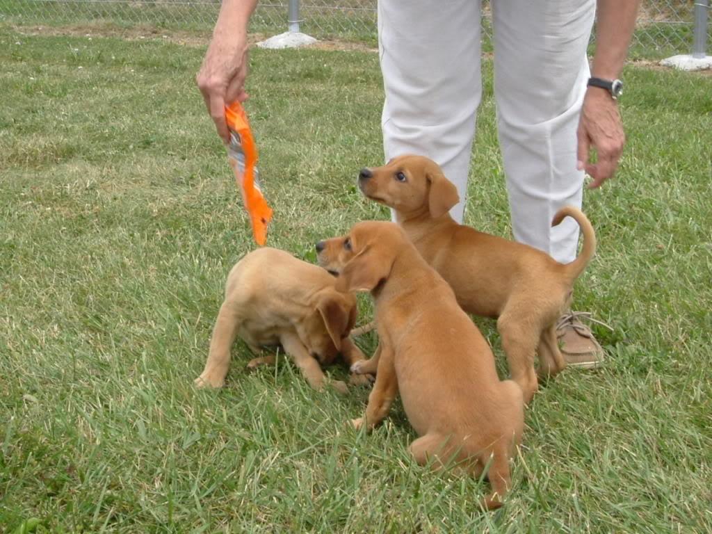 Cretan Hound Puppies: Cretan Hounddog Breed