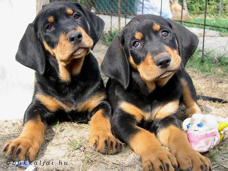 Cretan Hound Puppies: Cretan Hunting Dog Breeds Puppies