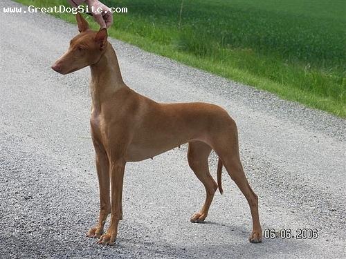 Cretan Hound Puppies: Cretan Pharaohhound Breed