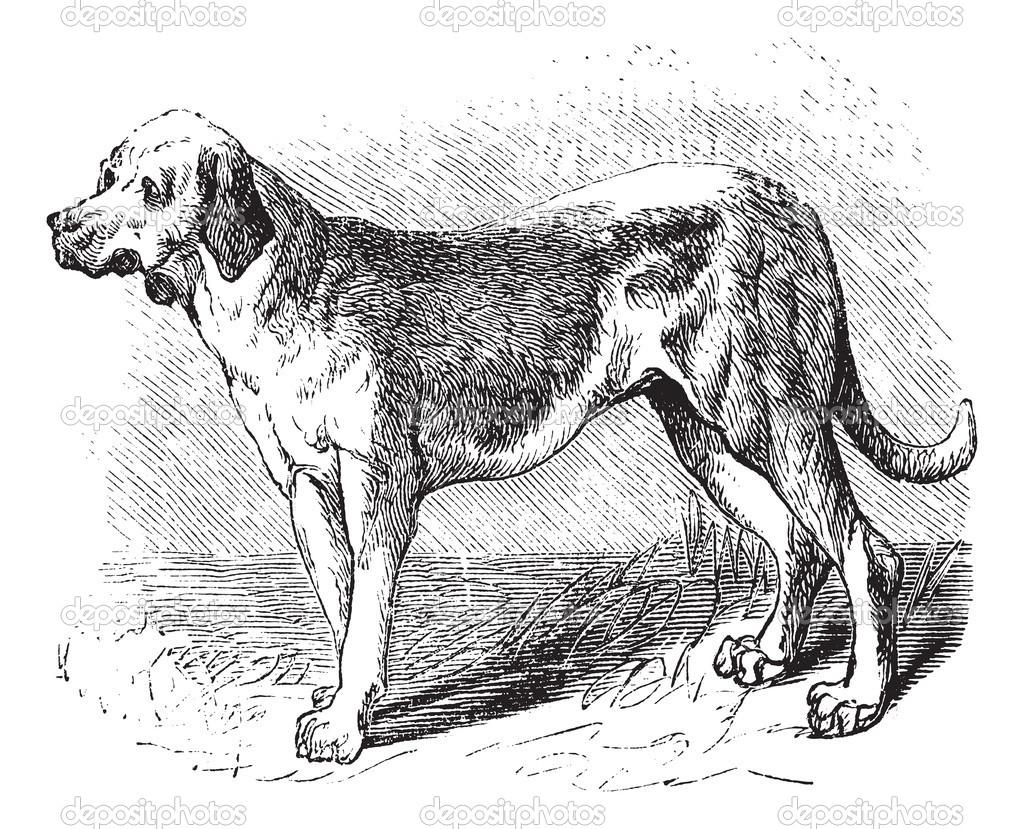 Cretan Hound Puppies: Cretan Picture Of Array Picasa Web Albums Valentina Breed