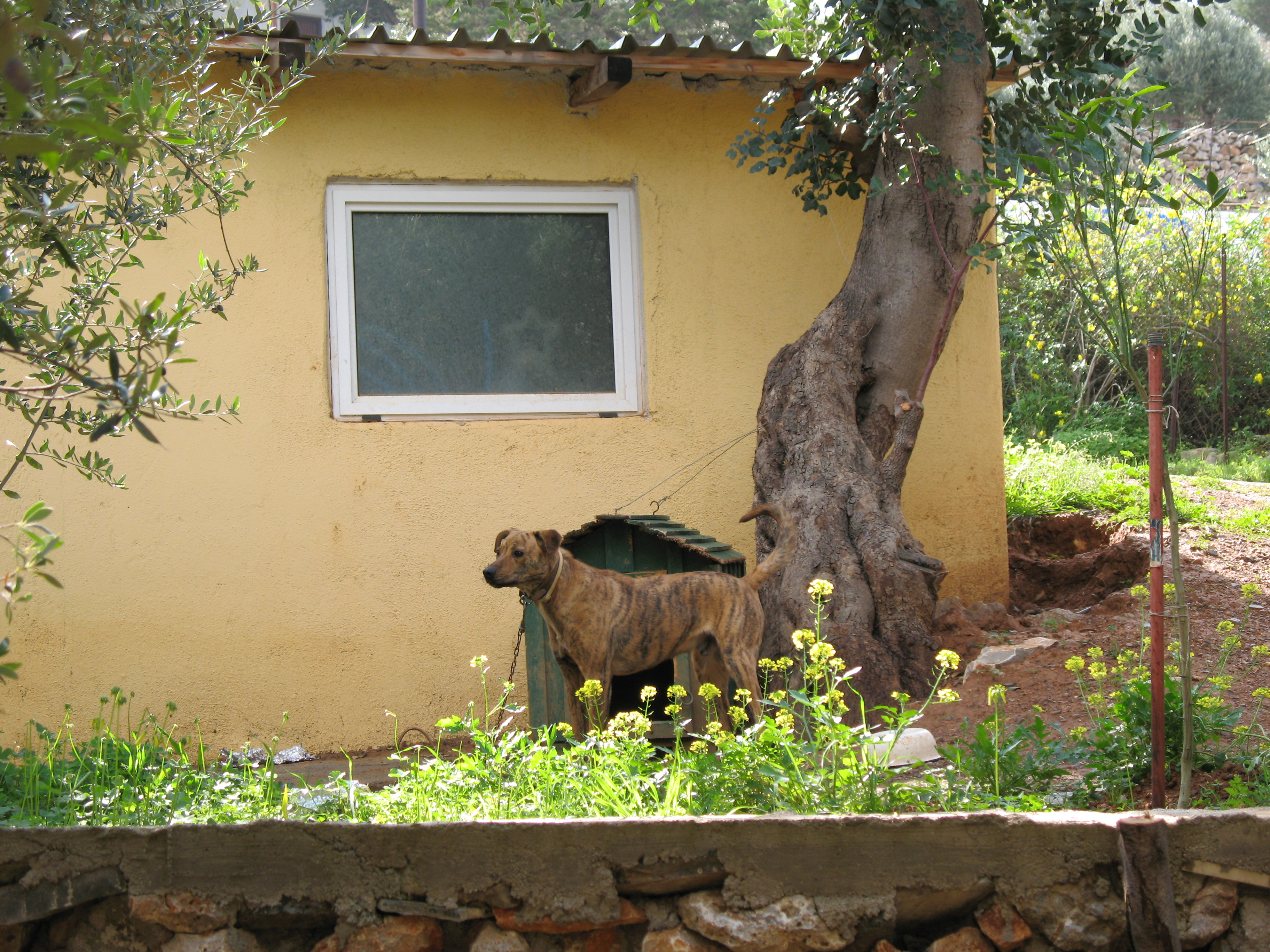 Cretan Hound Puppies: Cretan Portekiz Sigir Kopegi Breed