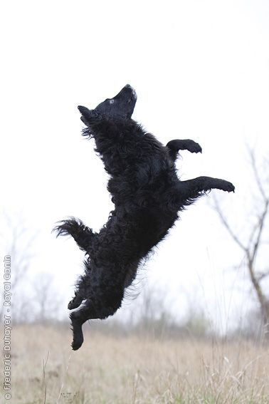 Croatian Sheepdog Dog: Croatian Croatian Sheepdog Croatian Shepherd Dog Breed