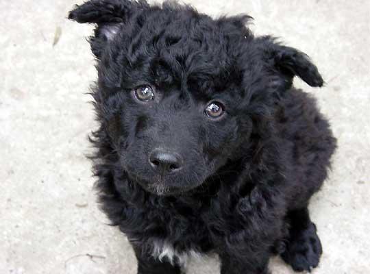 Croatian Sheepdog Puppies: Croatian Croatian Sheepdog Dog Breed