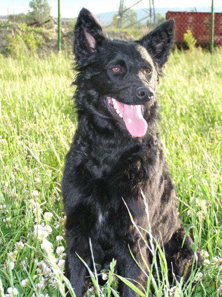 Croatian Sheepdog Puppies: Croatian Croatiansheepdog Breed