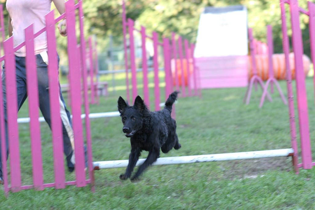 Croatian Sheepdog Dog: Croatian Jumping Croatian Sheepdog Dog Breed