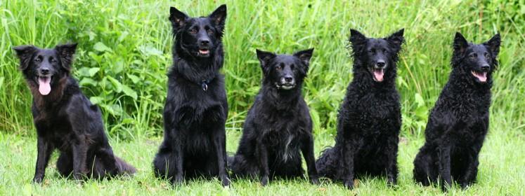 Croatian Sheepdog Dog: Croatian Know About Croatian Sheepdog Breed
