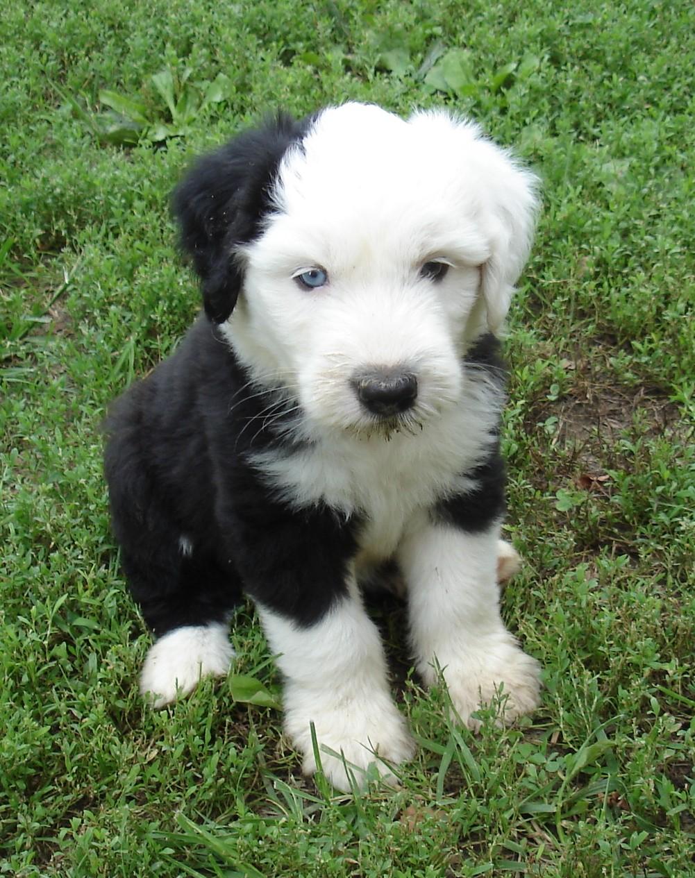 Croatian Sheepdog Puppies: Croatian Old English Sheepdog Puppy Breed