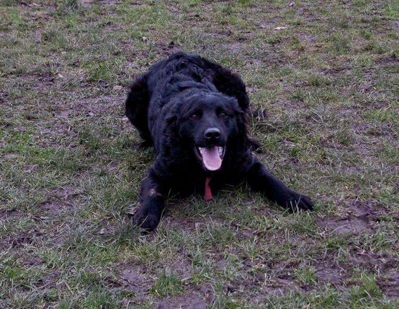 Croatian Sheepdog Dog: Croatian Ralph Young Croatian Shepherd For Adoption Stoke On Trent Breed