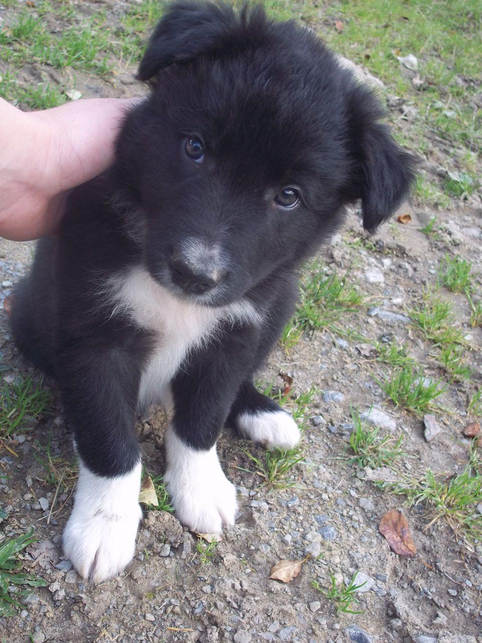 Croatian Sheepdog Puppies: Croatian Sheepdogpuppiespictures Breed