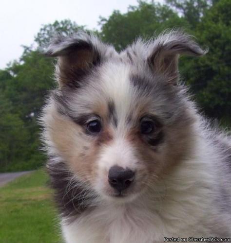 Cumberland Sheepdog Puppies: Cumberland Bluemerlesheltie Breed