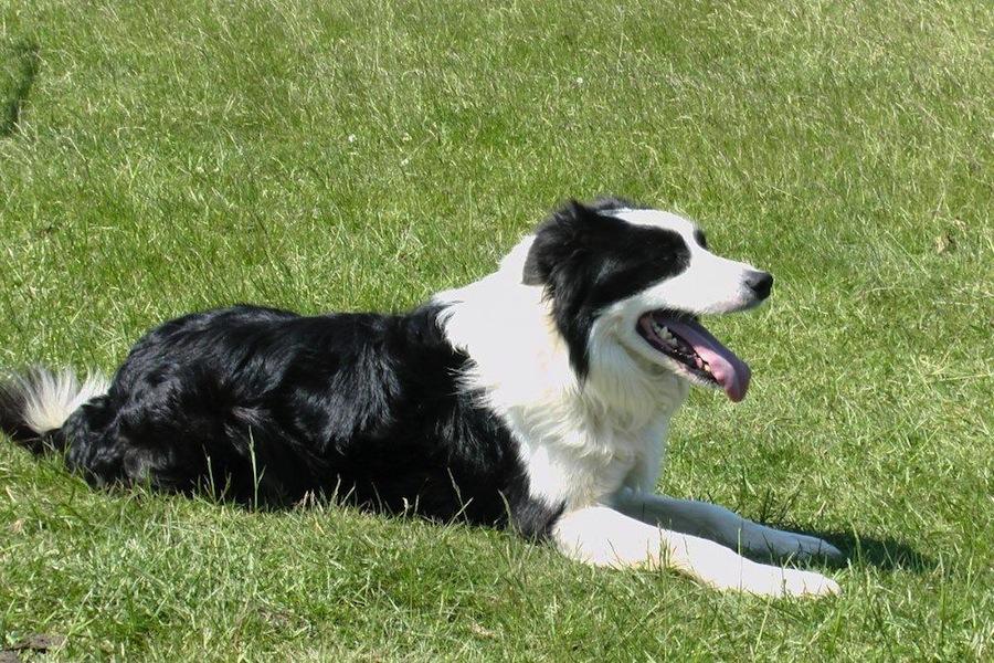 Cumberland Sheepdog Dog: Cumberland Border Sheepdog Designer Dogs Breed