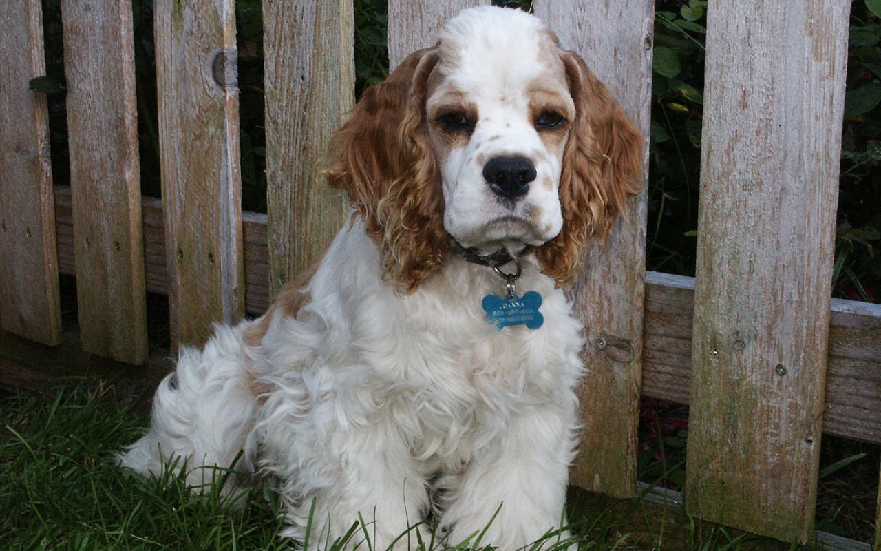 Cumberland Sheepdog Puppies: Cumberland Clumber Spaniel Dog In The Yard Breed