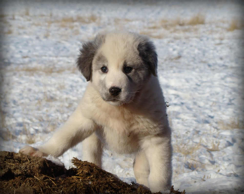 Cumberland Sheepdog Puppies: Cumberland Dog And Beautiful Funny Hovawart Pictures Breed