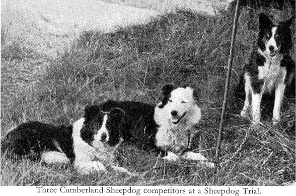 Cumberland Sheepdog Puppies: Cumberland Drawn Cumberland Sheepdog Pic Breed