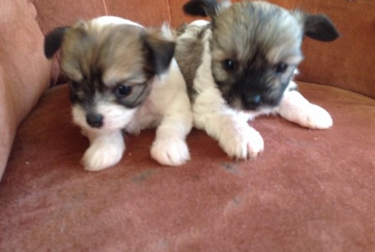 Cumberland Sheepdog Puppies: Cumberland Litters Breed