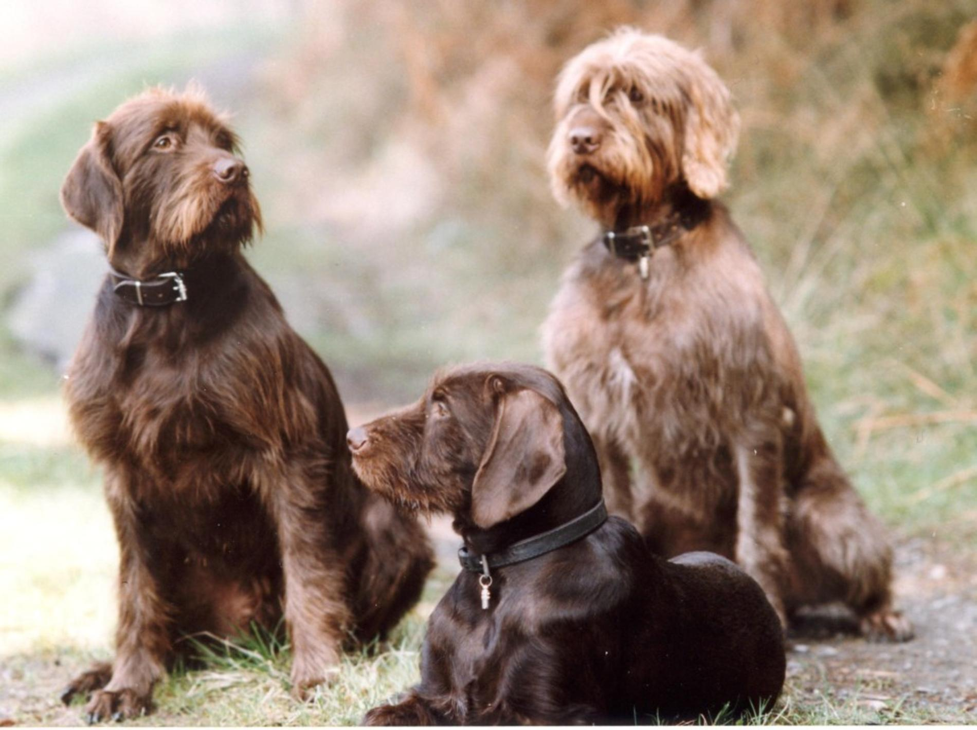 Cumberland Sheepdog Puppies: Cumberland Pudelpointer Dogs Breed