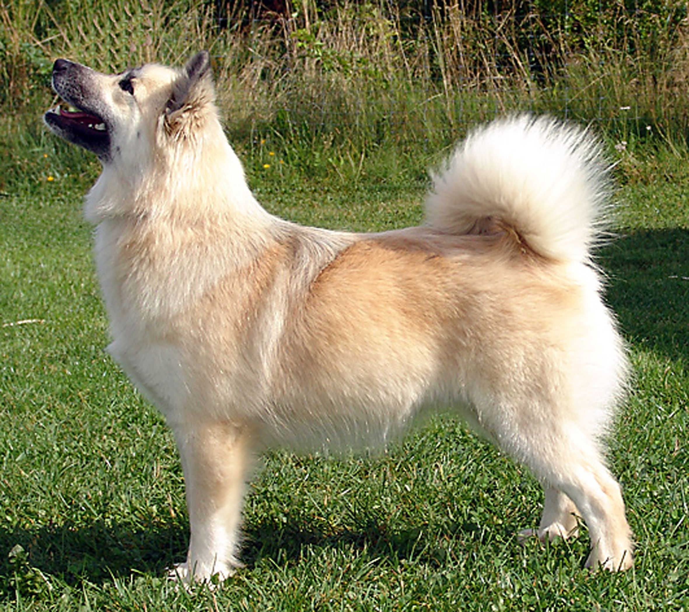 Cumberland Sheepdog Dog: Cumberland Sheepdog Breeds